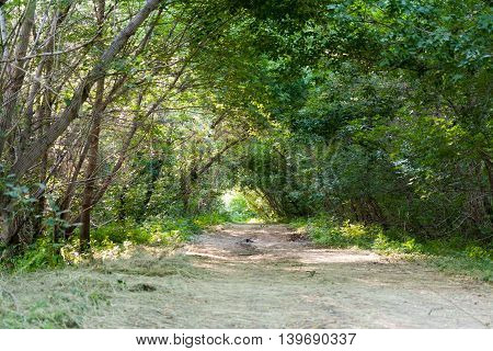 The road through the trees in summer green forest.