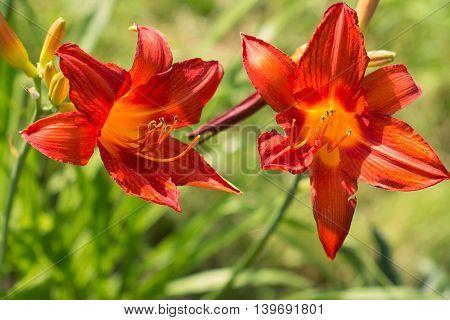 red lilys in summer green garden on blurred background