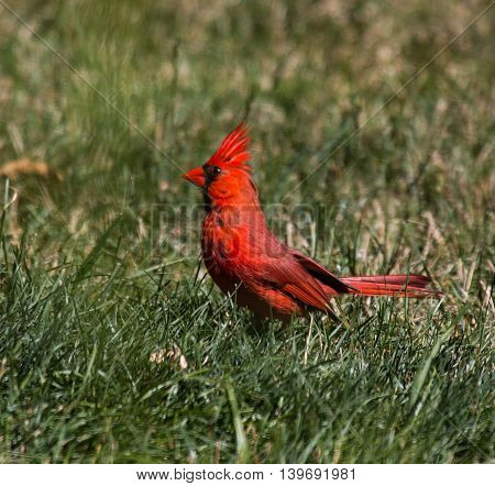 Red cardinal standing in grass in backyard