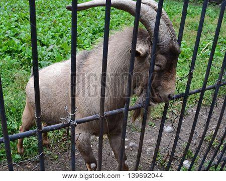 Mountain-goat in the Teberdinsky nature reserve. Karachay-Cherkessia Russia. Photo taken on: July 28 Sunday 2013