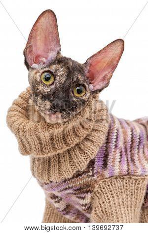 Portrait of a cat breed Cornish Rex in a sweater