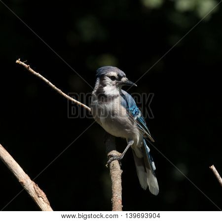Blue Jay sitting on branch in tree