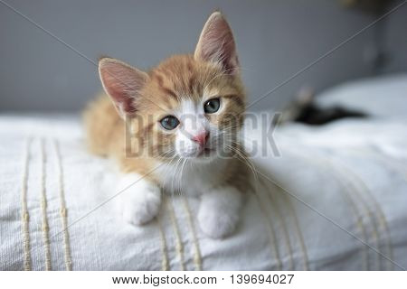 red and white kitten front looking on a beige blanket