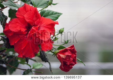 оne red flower сhinese rose growing in the office,