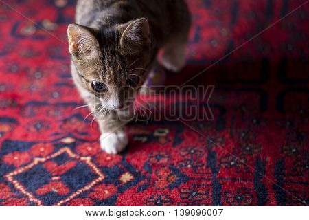 Cute Kitten On Red Carpet,