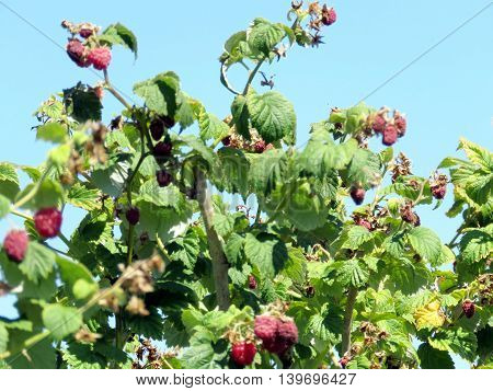 Raspberry bushs on field of the Whittamore's Farm in Markham Ontario 23 July 2016 Canada