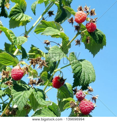 The raspberry bushs on field of the Whittamore's Farm in Markham Ontario 23 July 2016 Canada