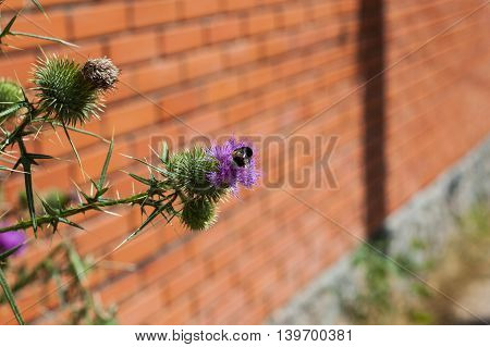 Spiny Thistle flowers on a brick background.