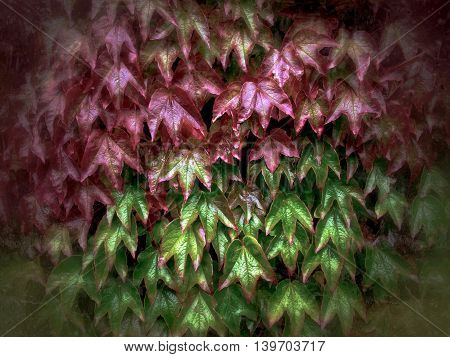 ivy plant leaves turning red in autumn