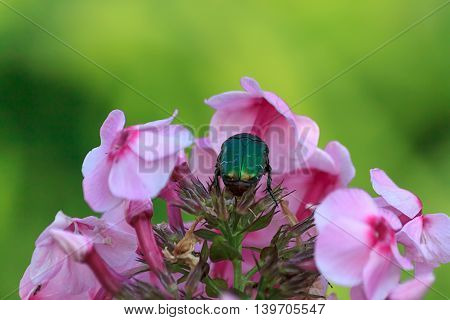 Large green scarab or rose chafer or Cetonia on phlox flowers close up with selective focus horizontal view