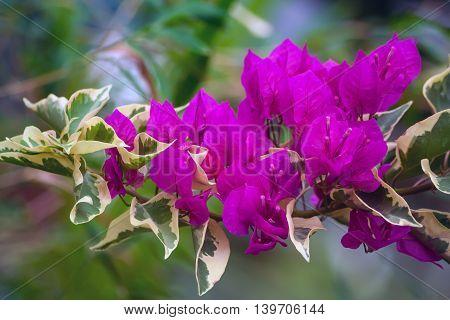 bougainvillea flowers purple flowers grow in the garden