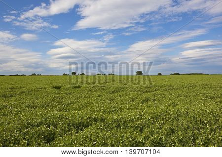 Yorkshire Wolds Pea Field