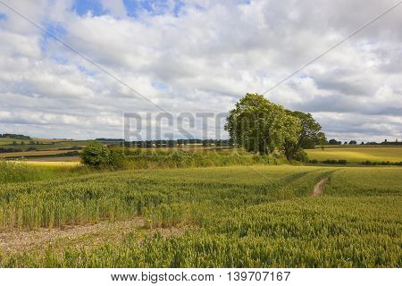 Wheat Field And Hedgerows