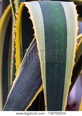 parts of a huge agave, yellow and green color with large spiky leaves growing in the garden