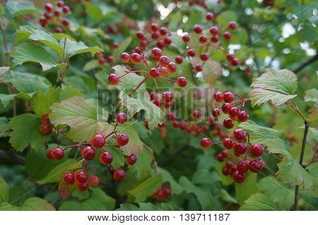 Red fruit of viburnum opulus shrub .