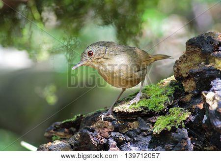 Buff-breasted Babbler Pellorneum tickelli Birds of Thailand