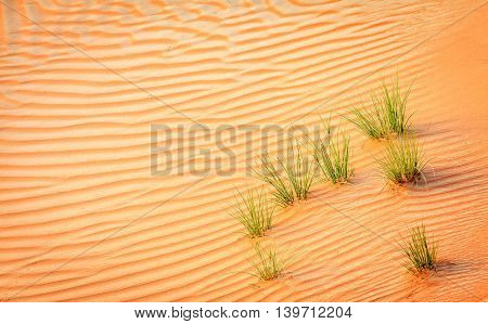Patches of green grass in sand dunes in a desert near Dubai, UAE
