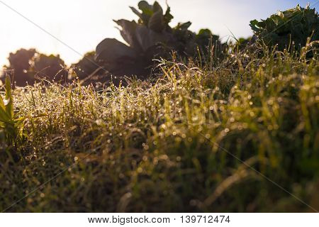 Photo Fresh Green Organic Vegetables Asian Village Home Field.Sun Highlights Morning Dew Grass Blurred background. Wild Nature Picture. Horizontal.Highly Detailed Image.Be Vegan