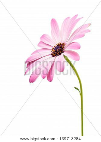 White and Pink Osteospermum Daisy or Cape Daisy Flower Flower Isolated over White Background. Macro Closeup