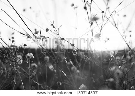 Meadow. Wild flowers and plants at sunset black and white