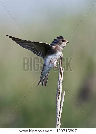European sand martin (Riparia riparia) sitting on a branch with open wings
