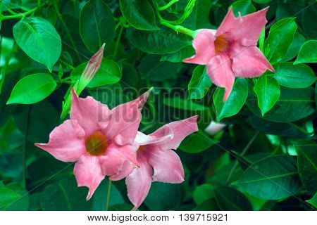 beautiful pink tropical flowers with pointed petals at the end and light green leaves growing in a garden,