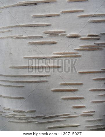 Close up of birch tree bark details: thin parallel irregular lines