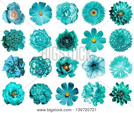 Collage Of Natural And Surreal Turquoise Flowers 20 In 1: Peony, Dahlia, Primula, Aster, Daisy, Rose