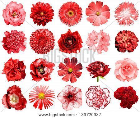 Mix Collage Of Natural And Surreal Red Flowers 20 In 1: Peony, Dahlia, Primula, Aster, Daisy, Rose,