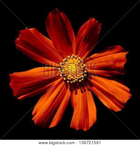 Strange Orange Surreal Flower Primula Macro Isolated On Black