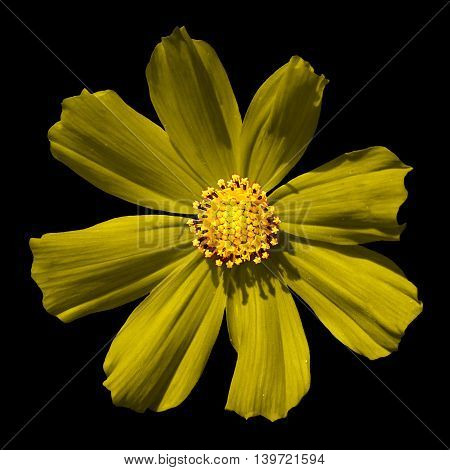 Yellow Surreal Flower Primula Macro Isolated On Black
