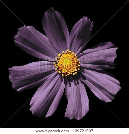 Strange Violet Surreal Flower Primula Macro Isolated On Black