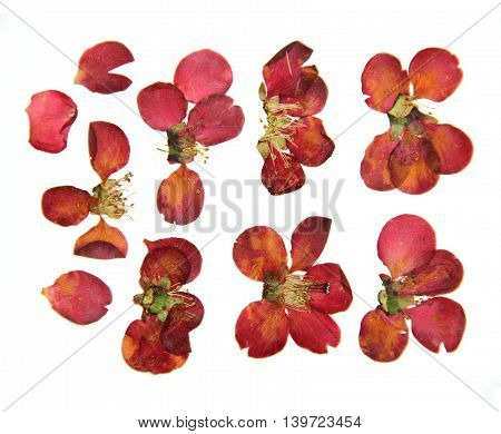 Pressed and dry large red flowers and petal set of quince. Blossom of japonica chaenomles isolated
