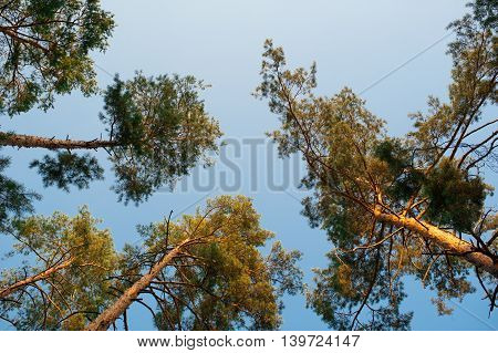 Pine trees in the forest, bottom view