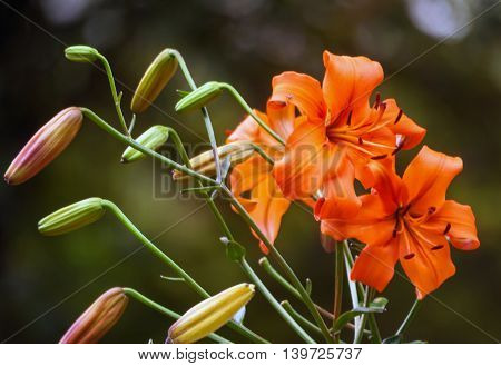beautiful soft bright orange lily growing in the garden of a cloudy day, the branch with buds and in full bloom