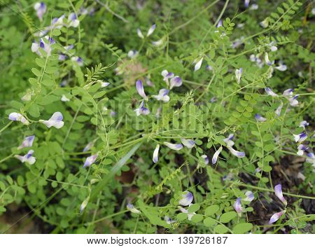 Endemic Cyprus Vetch - Vicia cypria Flowers and Leaves