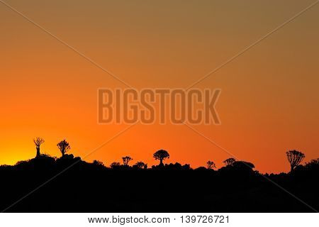 Silhouettes of quiver trees (Aloe dichotoma) at sunset, Namibia, southern Africa