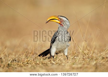 Yellow-billed hornbill (Tockus flavirostris) sitting on the ground, South Africa