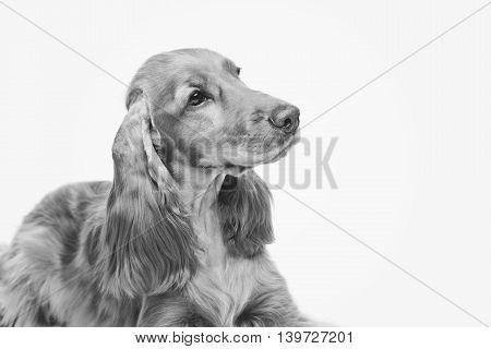 Portrait of beautiful young brown English cocker spaniel dog isolated over white background. Closeup studio shot. Copy space. Monochrome.