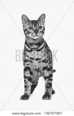 Portrait of beautiful bengal cat isolated over white background. Copy space. Monochrome.