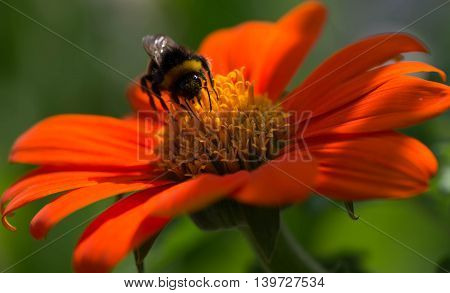 Close-up of bee on an orange flower, bee is pollinating the flower.