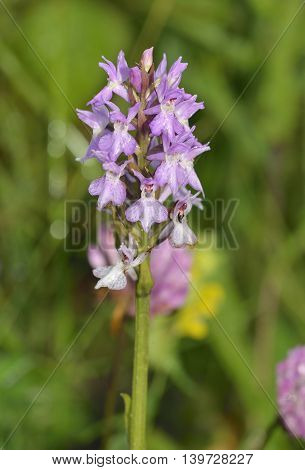 Southern Marsh Orchid - Dactylorhiza praetermissa Wet with mist