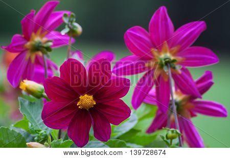 bright dark pink dahlias grow in the park cloudy day, a few pieces