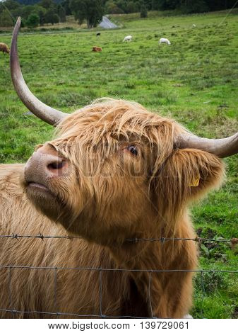 Woolly Cow in Scotland, he's got his eye on you.