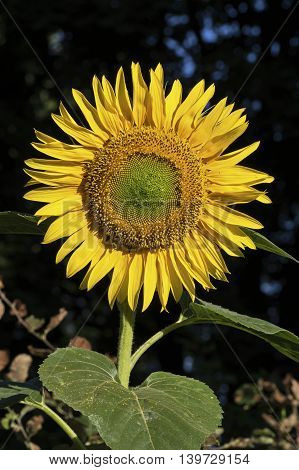 Sunflower in early morning light with drops of dew on center disk flowers. Helianthus or sunflower is a genus of plants comprising about 70 species in the family Compositae.