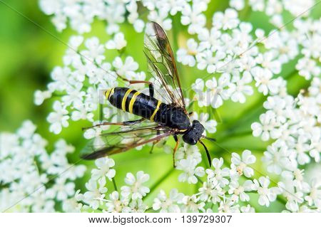 Wasp sits the flower eating nectar.  Insect with yellow and black abdomen and a sting. The world wildlife stinging insects.
