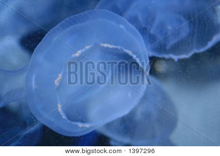 Blue Electric Jellyfish