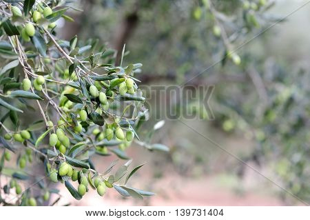 Detail of a green olive tree branch