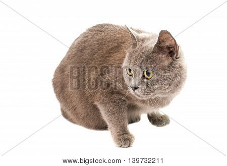 gray cat animal isolated on white background