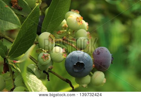 Close-up of a group of blueberries ripening on the bush